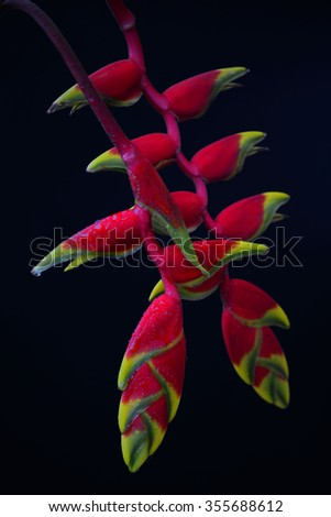 a beautiful red Heliconia flower, tropical flower isolated on a black background - stock photo