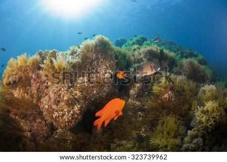 A beautiful reef scene in Catalina - stock photo