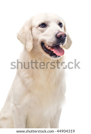 A beautiful retriever on white background