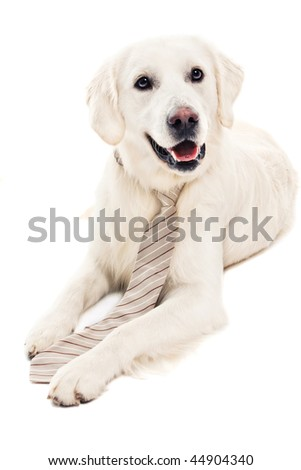 A beautiful retriever on white background wearing a tie - stock photo