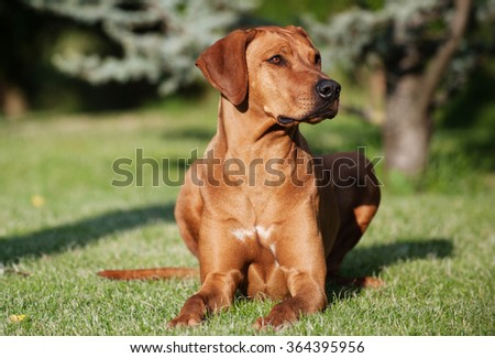 A beautiful Rhodesian Ridgback female dog is lying in the garden on the green grass. The summer sunlight is shining in her eyes and she is looking proud to the side. - stock photo