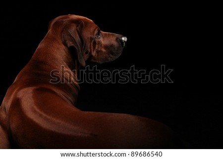 a beautiful rhodesian ridgeback male is lying on the floor and is showing his beautiful ridge on his strong back - stock photo