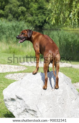 a beautiful rhodesian ridgeback male is standing on a stone and shows his long ridge on his strong back - stock photo