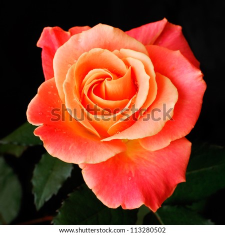 A beautiful rose bud on black background - stock photo