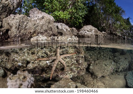 A beautiful sea star clings to rocks along the coast of a remote island in the Solomon Islands. This region is within the Coral Triangle and is known for its high marine biological diversity. - stock photo