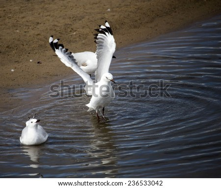 A  beautiful seagull   seabird of family Laridae in sub-order Lari is landing  with wings upstretched in the clear waters of the Leschenault Estuary Bunbury Western Australia on a  late afternoon . - stock photo
