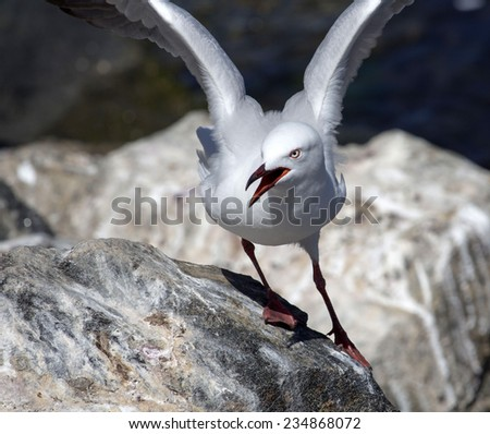 A  beautiful seagull   seabird of family Laridae in sub-order Lari  is   perched on a  granitic rock on a fine morning in early summer squawking loudly as the chicks are being raised nearby. - stock photo
