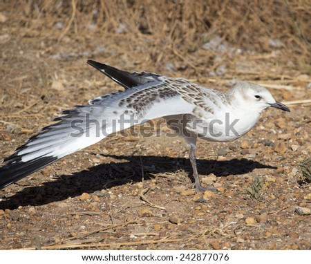 A beautiful seagull   seabird of family Laridae in sub-order Lari  young  brown speckled chick  is  standing on the bare ground on a hot summer afternoon stretching its wing. - stock photo