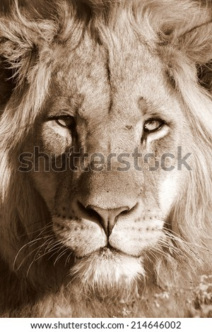 A beautiful sepia tone portrait of a sub adult male lion - stock photo