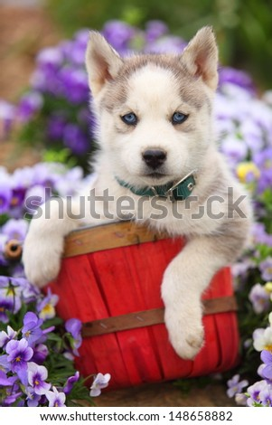 A beautiful Siberian Husky puppy sits patiently in a red basket in front of some flowers. - stock photo