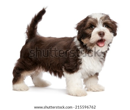 A beautiful smiling dark chocolate and white colored havanese puppy dog is standing, isolated on white background - stock photo
