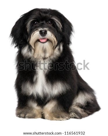 A beautiful smiling happy havanese male puppy dog is looking at camera, isolated on white background - stock photo