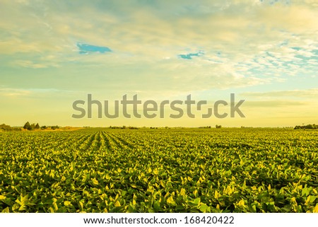 A beautiful soybean field at dusk with amazing colors. - stock photo