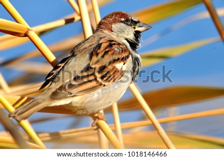 A beautiful sparrow sits in the reeds against the blue sky