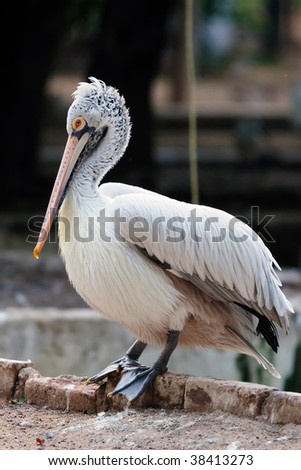 A beautiful Spot billed pelican at a local zoo - stock photo