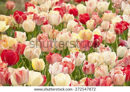 A beautiful spring tulip background with shades of red white and yellow