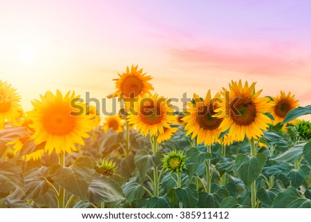 A beautiful sunflower field near Valensole, Provence, France - stock photo