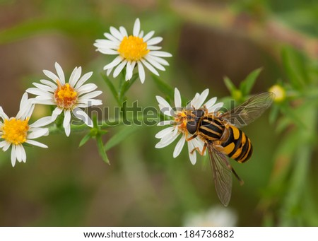 A beautiful Syrphid Fly, a bee look-alike, nectars on an autumn flower in a Wisconsin meadow. - stock photo