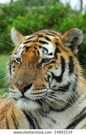 A beautiful tiger head portrait with alert expression in the face watching other tigers in a game park - stock photo