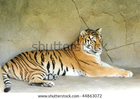 A beautiful tiger lying down - stock photo