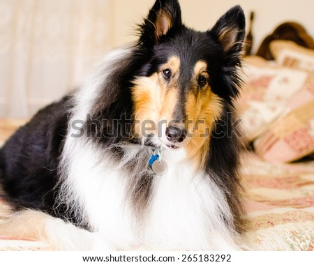 A beautiful tri-color collie dog wearing a collar and identification tags watches alertly from atop a quilted human bed in a bedroom. - stock photo