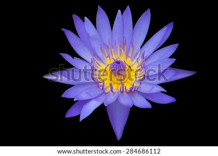 A beautiful violet waterlily or lotus flower on isolated background