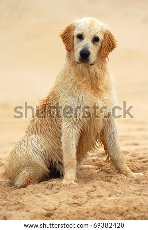 A beautiful wet young thoroughbred Golden Retriever dog sitting in the sand outdoors. - stock photo