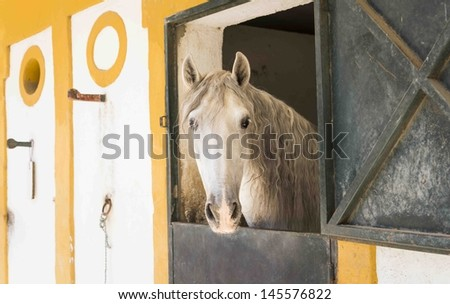 A beautiful white andalusian horse standing in his stable in Jerez Spain - stock photo