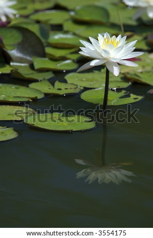A beautiful white water flower in a calm pond