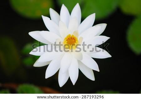 A Beautiful White Water Lily - stock photo