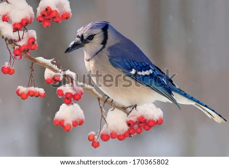 A beautiful winter Bluejay (Cyanocitta cristata) on a snowy hawthorn branch loaded with bright red berries. - stock photo