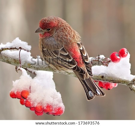 A beautiful winter House Finch (Carpodacus mexicanus) on a snowy hawthorn branch full of bright red berries. - stock photo