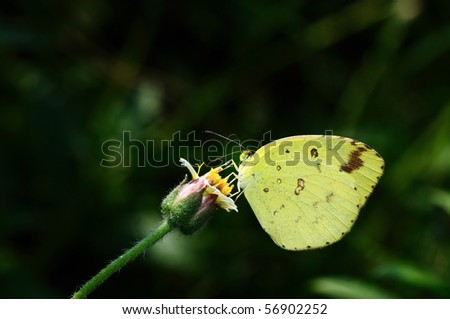 A beautiful yellow butterfly perching on a flower