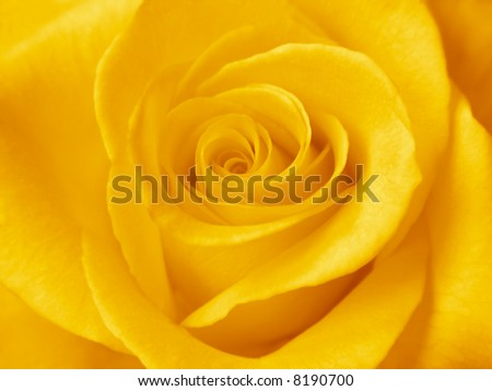 A beautiful yellow rose. Close-up