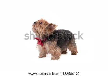 a beautiful yorkshire terrier dog