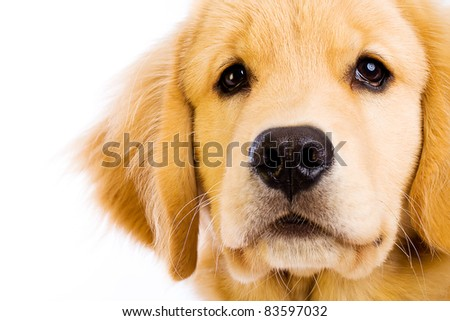 A beautiful young Golden Retriever dog. - stock photo