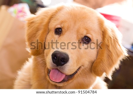A beautiful, young golden retriever with a friendly smile on his face. - stock photo