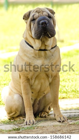 A beautiful, young red fawn Chinese Shar Pei dog sitting on the lawn, distinctive for its deep wrinkles and considerd to be a very rare breed - stock photo