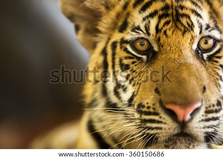 A beautiful young tiger (Panther Tigris). - stock photo