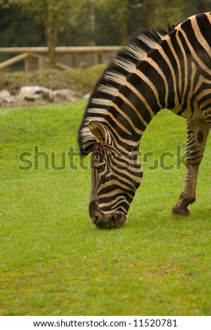 A beautiful zebra eating the green grass. - stock photo