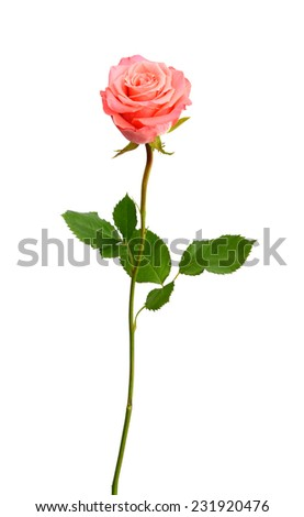 A beauty pink rose isolated white  - stock photo