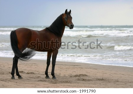 A beautyful bay arabian stallion standing freely on the beach