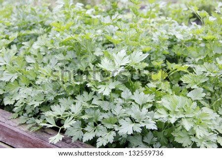 A bed of cilantro house plant in the garden - stock photo