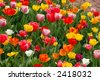 A bed of colorful tulips along path - stock photo