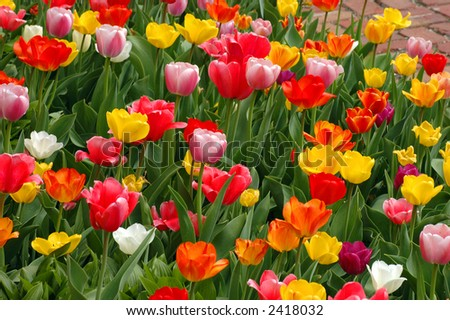 A bed of colorful tulips along path