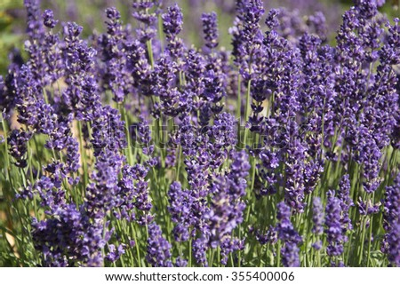 A Bed of Lavender in Egenhausen, Germany - stock photo