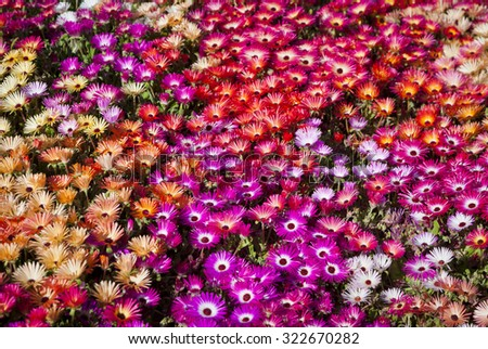 A bed of Livingstone Daisies in Toowoomba Carnival of Flowers, Queensland, Australia.  - stock photo