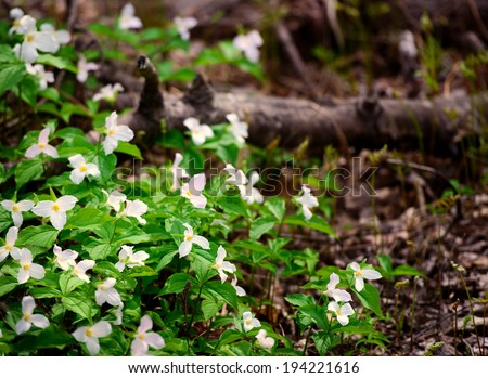 A bed of white trilliums in the composed on left side of the frame. Room for copy space. Trillium grandiflorum is the official emblem of the Province of Ontario and the State Wildflower of Ohio.  - stock photo