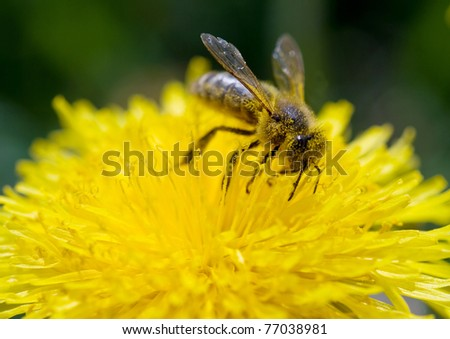 a bee collects pollen and nectar - stock photo