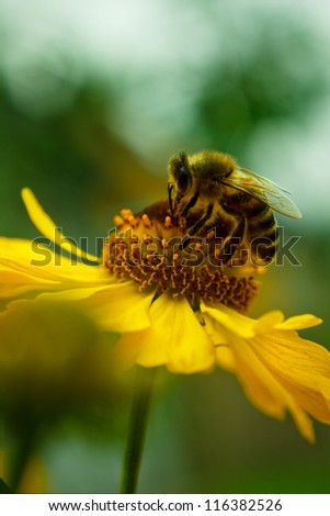 A bee drinking nectar on the yellow flower - stock photo